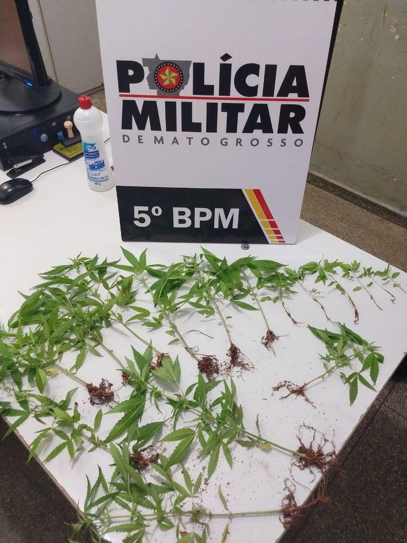 PM encontra plantação de maconha em terreno baldio em Rondonópolis