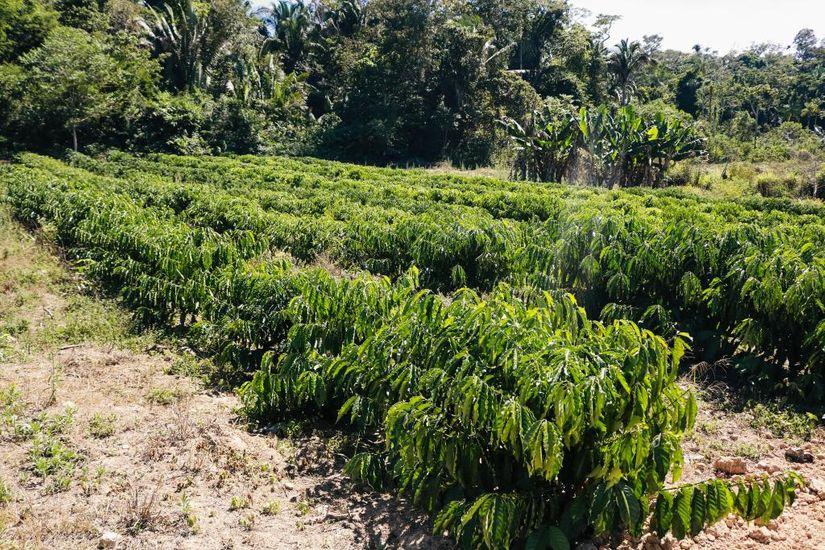 MT planeja expandir área e produção do café