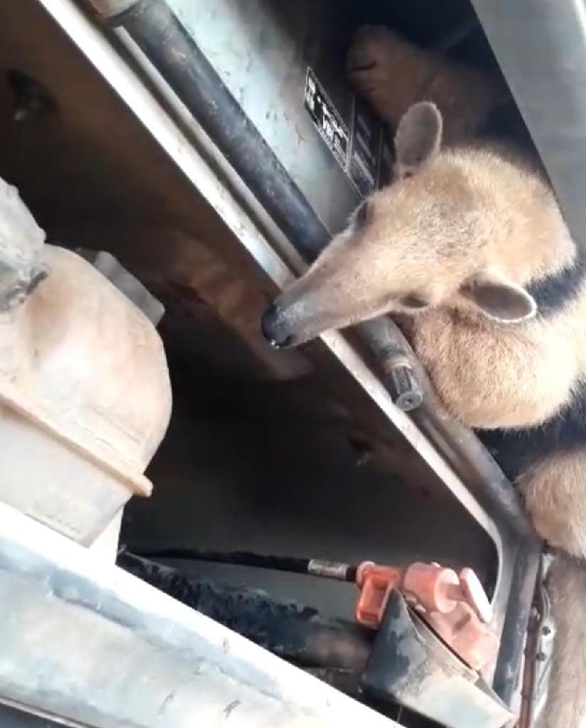 PM resgata tamanduá-mirim escondido em caminhão em Rondonópolis
