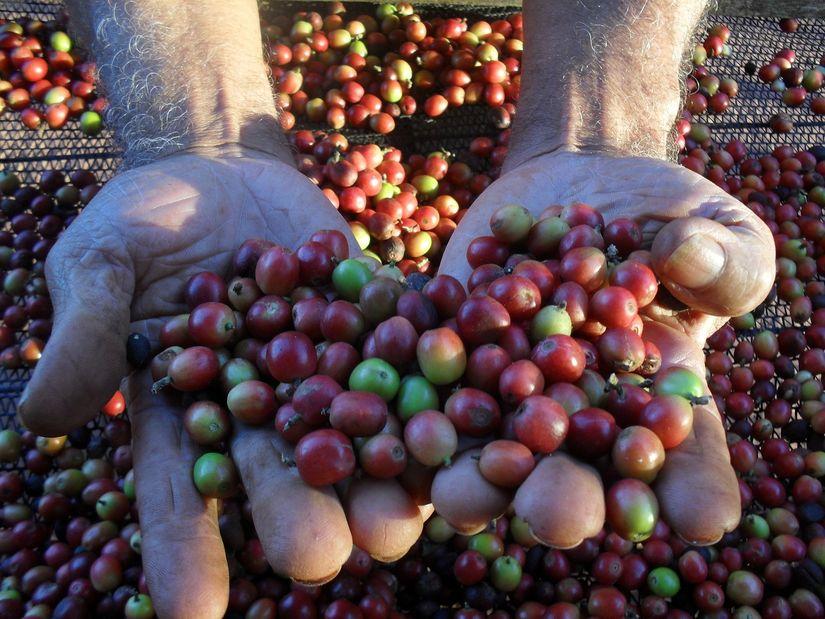 Brasil exporta volume recorde de café verde na safra 2018/19
