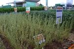 Cultivar de soja conta com atributos que atendem produtor com custo menor