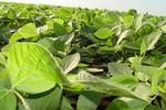 Safra de grãos deve alcançar 300 milhões ton em dez anos, indica estudo