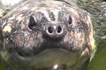 Projeto repovoa Rio Araguaia com 150 mil filhotes de tartarugas-da-amazônia