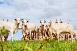 Governo regulamenta Lei que reduz ICMS da saída de boi em pé