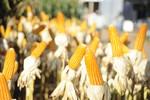 Mato Grosso será pioneiro em produção de etanol de milho