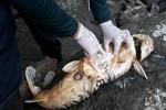 Análise de peixes mortos descarta envenenamento e aponta responsabilidade de Usina Hidrelétrica