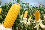 Milho brasileiro ganha força e pode dominar os EUA em exportações