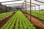 Crédito rural auxilia produtores na expansão do cultivo de hortaliças