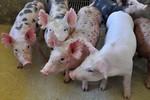 Custos de produção de suínos e de frangos de corte caem em outubro