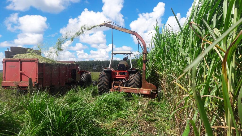 Cultivar se destaca pela alta produtividade de biomassa, produz 80 toneladas por hectare de massa verde. (Foto: Extensionista Empaer)
