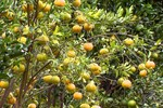 Festival de Ponkan tem mais de 150 pés da fruta à disposição dos visitantes em MT
