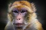Cientistas conseguem 'provocar' autismo em macacos para estudar novos tratamentos