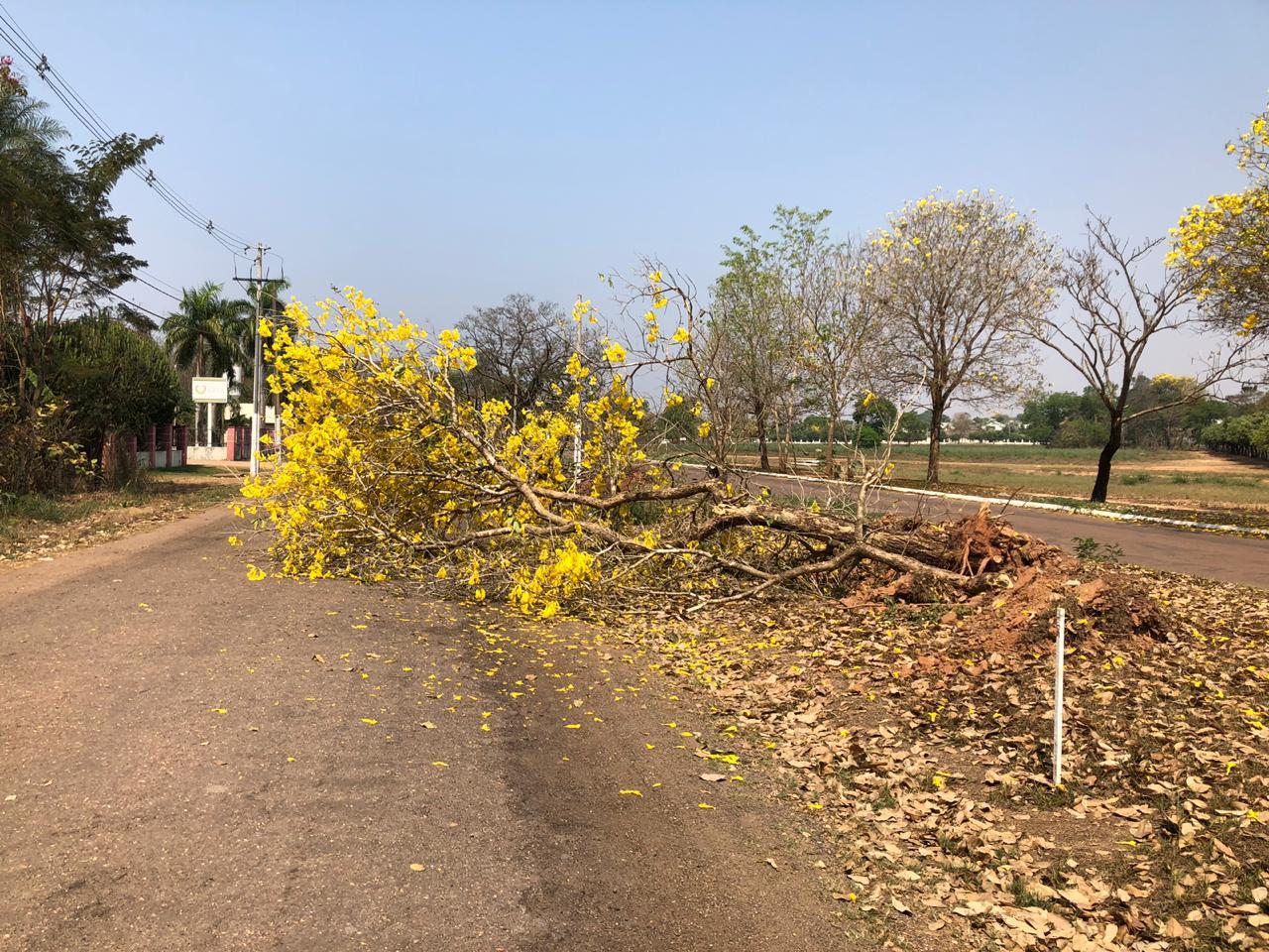 Dezenas de árvores, na maioria ipês floridos, foram derrubados pela prefeitura de Rondonópolis